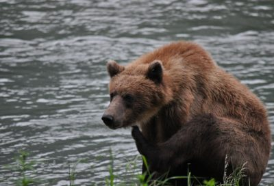 Bears often visit the Chilkoot River in hopes of snagging a salmon