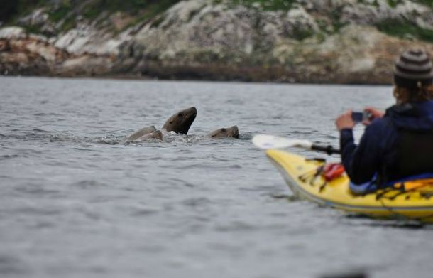 Seals poke up to visit some scouts as they kayak past